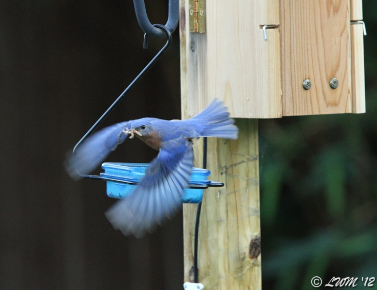 Male Eastern Bluebird In Flight With Mouth Full Of Meal Worms