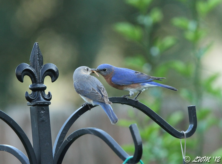 Male Eastern Bluebird Sharing Meal Worm With Female