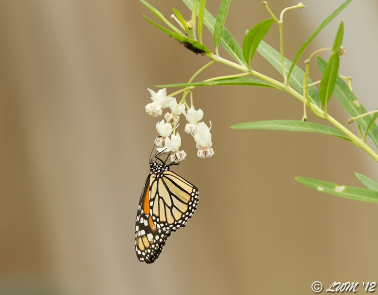 Monarch Feeding On Family Jewels Milkweed