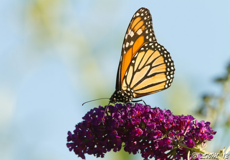 Monarch Butterfly On Very Purple Butterfly Bush