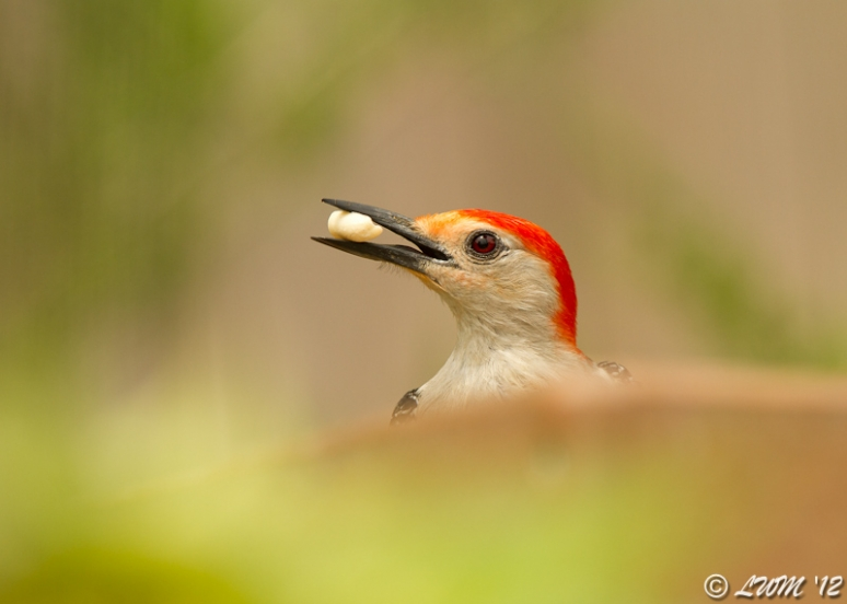 Red Bellied Woodpecker With Nut In Mouth From Bird Blind