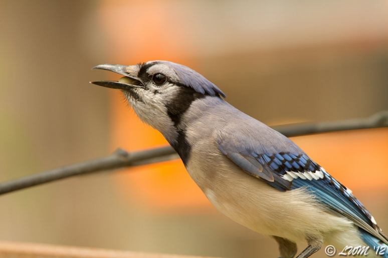 Blue Jay With Nut In Mouth On Feeder