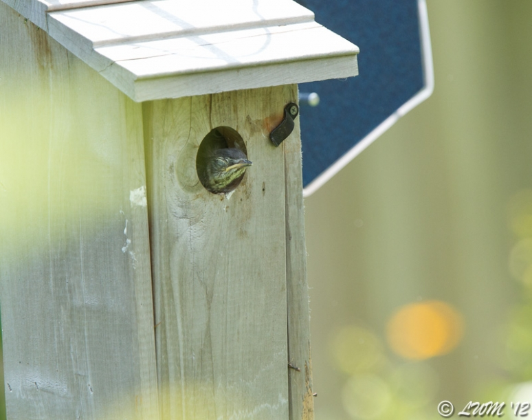 Baby Bluebird Falling Asleep Contemplating Leaving The Nest