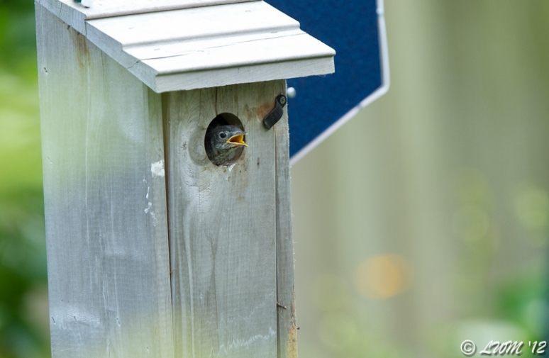 Baby Bluebird Contemplating Leaving The Nest