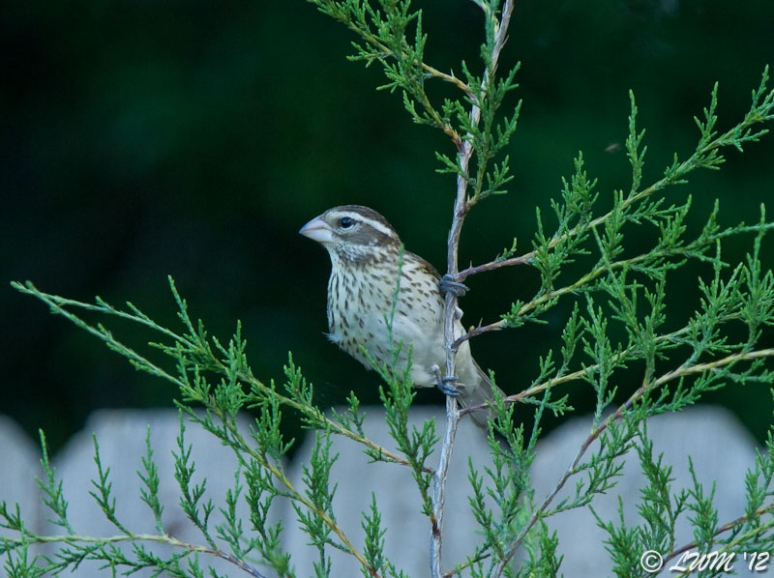 Female Rose Breasted Grosbeak On Eastern Red Cedar