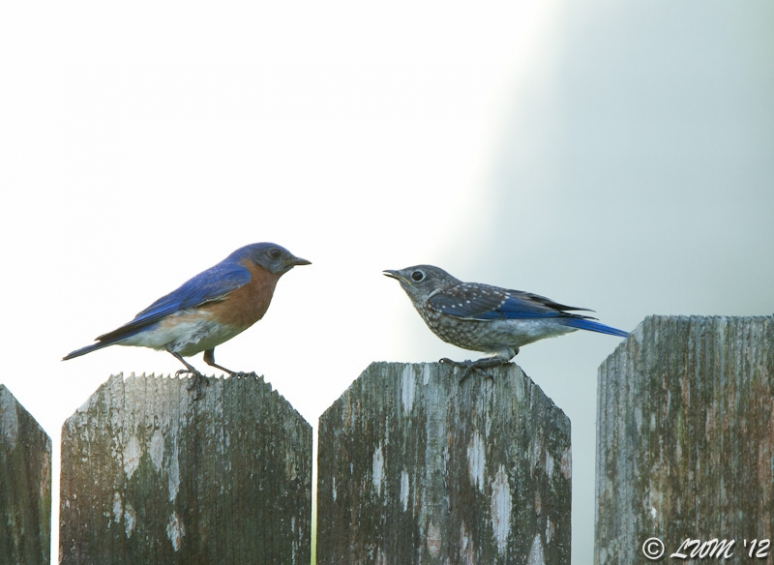 Father and Son Bluebird Share An Intimate Moment