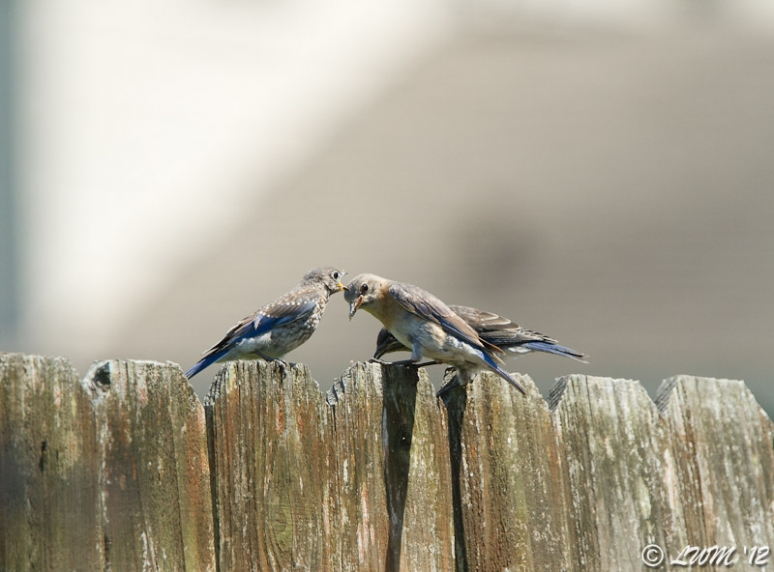 Mama Bluebird With 2 Of Her Fledglings