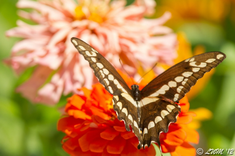 Giant Swallowtail On Bright Orange Zinnia Wings Spread