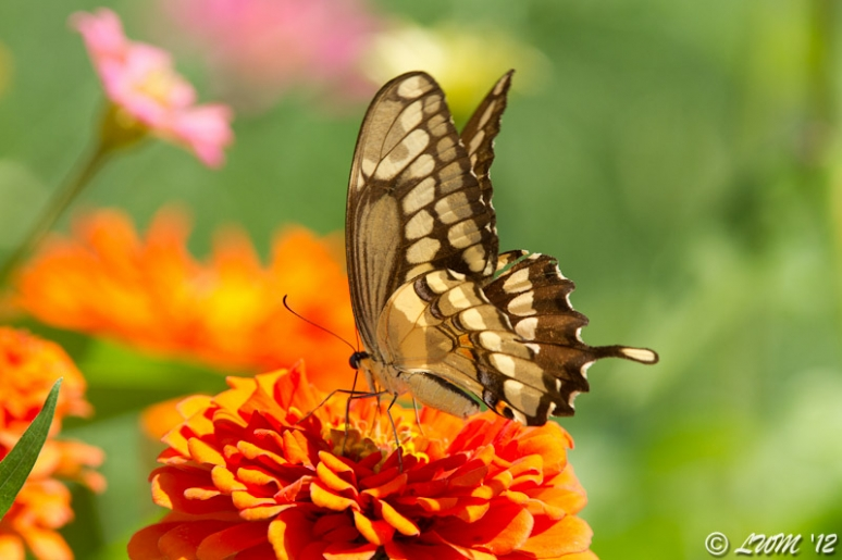 Giant Swallowtail On Bright Orange Zinnia