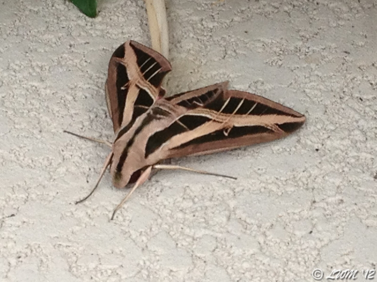 Banded Sphinx Moth On Pool Decking