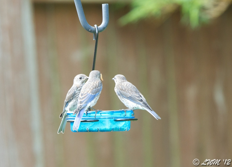 1 Make and 2 Female Fledgling Eastern Bluebirds