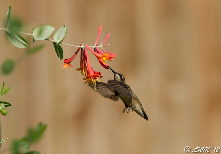 Ruby Throated Hummingbird In Midflight