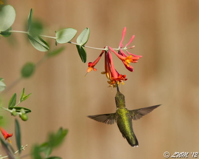 Ruby Throated Hummingbird In Midflight Coral Honeysuckle