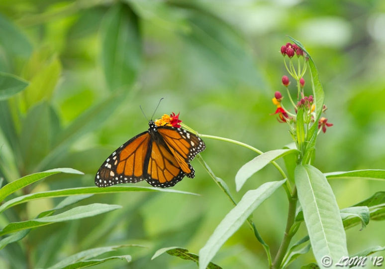 Male Monarch Butterfly Getting Nectar From Milkweed