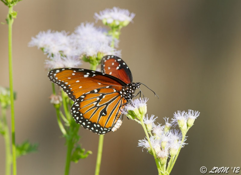 Queen Butterfly On Blue Mistflower 2012