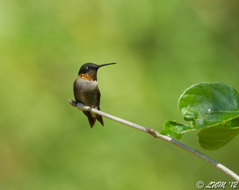 Mature Male Ruby Throated Hummingbird Green Background