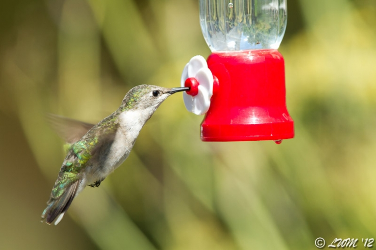 Female Ruby Throated Hummingbird In Flight On Single Feeder