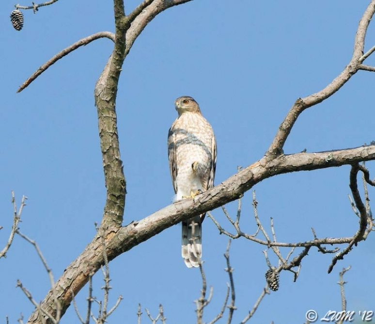 Sharp Shinned Hawk On Distant Tree