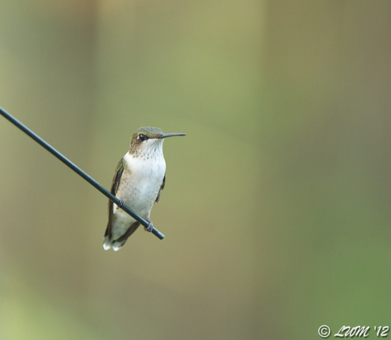 Female Ruby Throated Hummer Resting On Wire