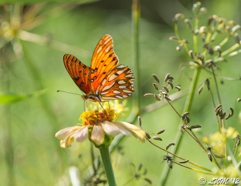 Gulf Fritillary On Faded Zinnia