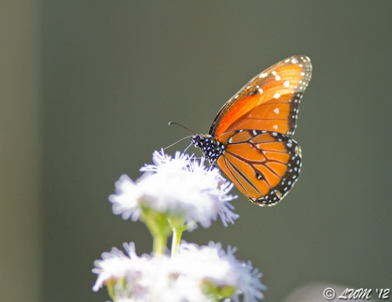 Male Queen Butterfly On Blue Mistflower In The Morning