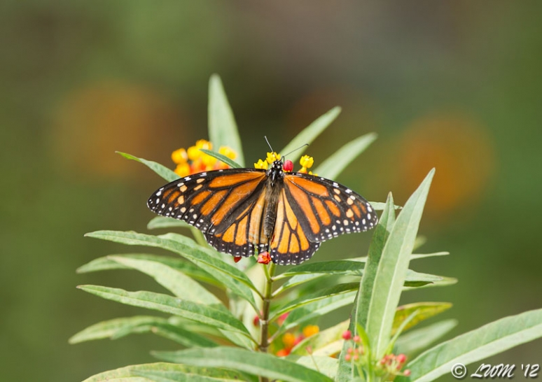 Female Monarch Butterfly With Wings Spread On Milkweed