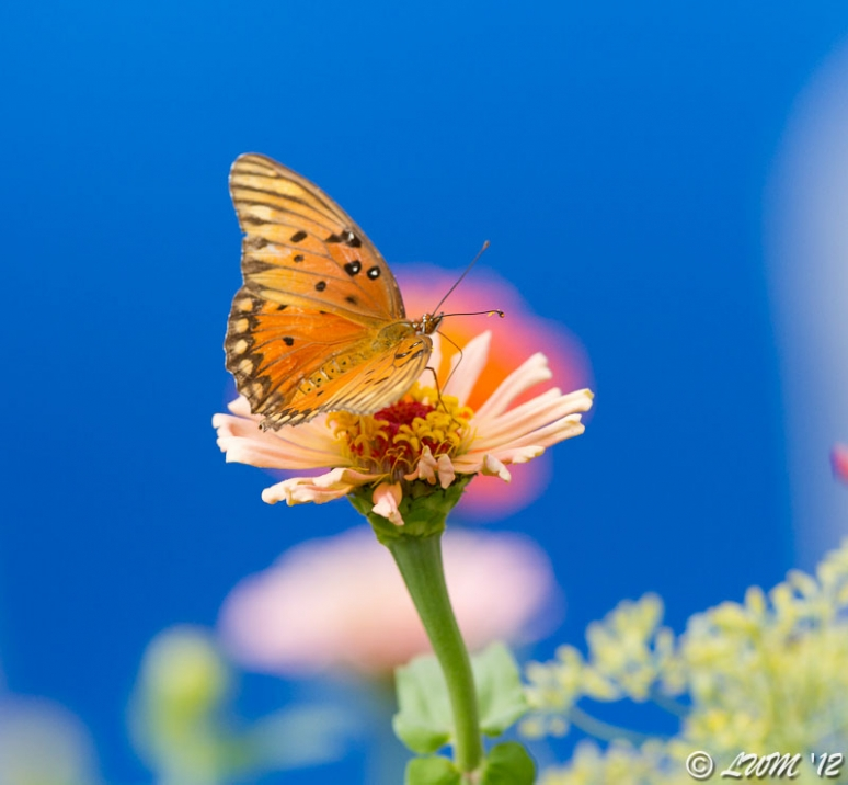 Gulf Fritillary With Rainbow Background