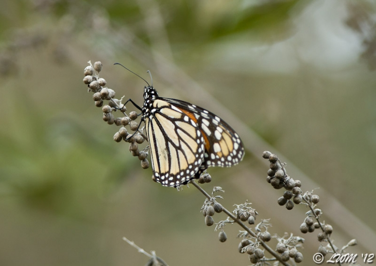 Monarch Butterfly Resting On Chaste Tree