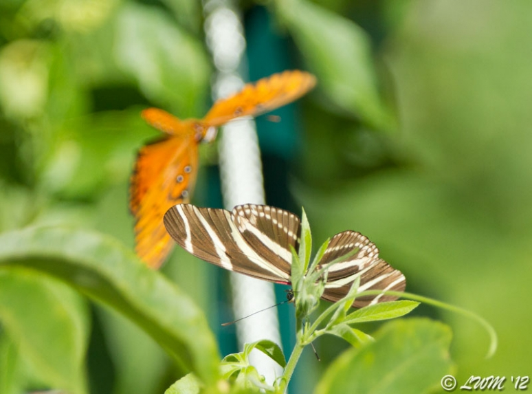 Zebra Longwing In Houston Laying Eggs On Passionvine With Gulf Fritillary In Background