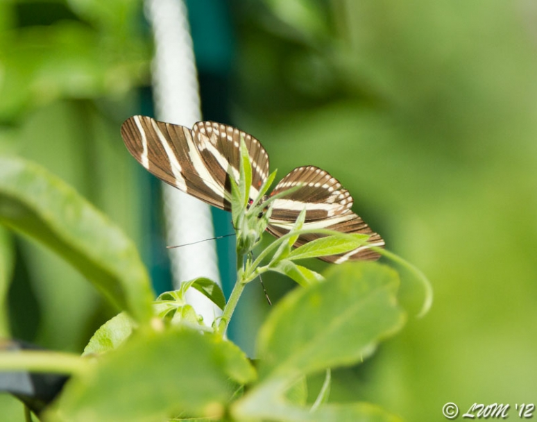 Zebra Longwing In Houston Laying Eggs On Passionvine