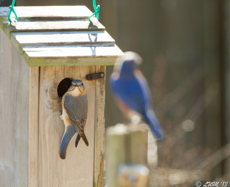 Female Bluebird With Male In Foreground