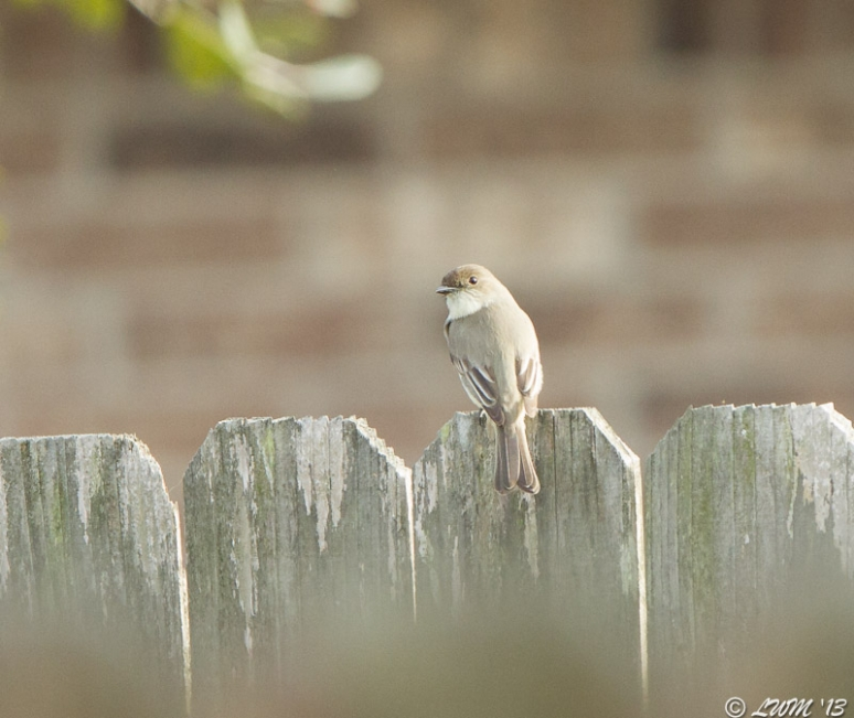 Eastern Phoebe On Fence