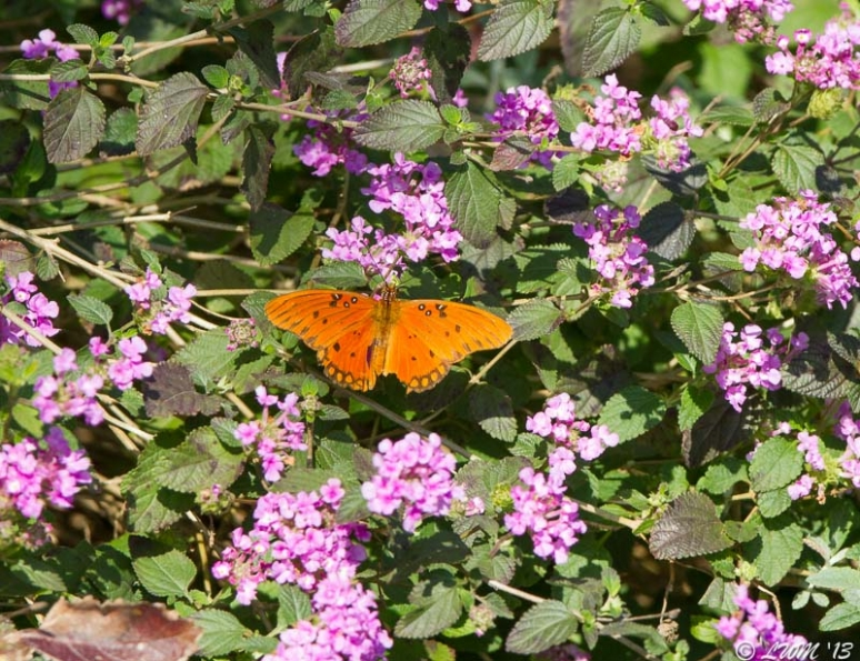 Gulf Fritillary Butterfly On Purple Lantana
