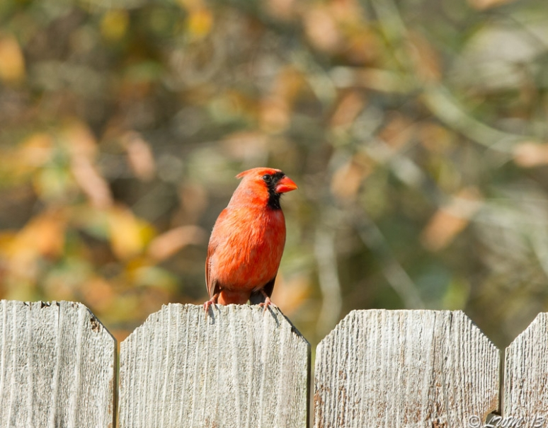 Male Northern Cardinal On Fence
