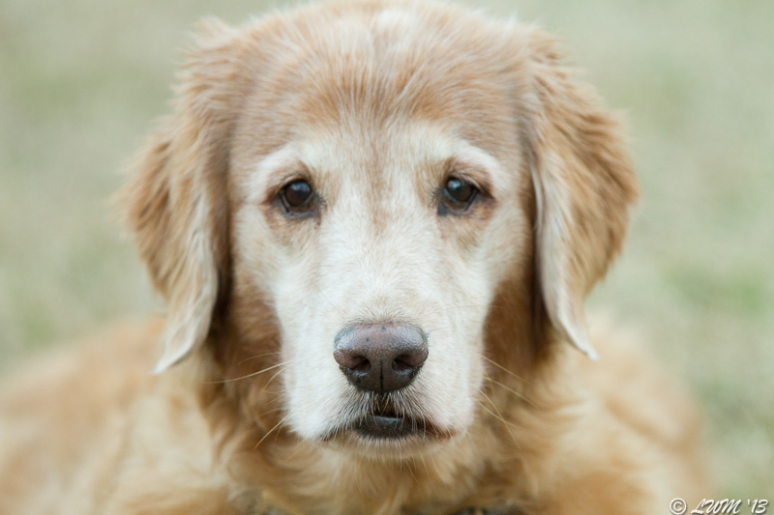Golden Retriever Age 11 Face Shot