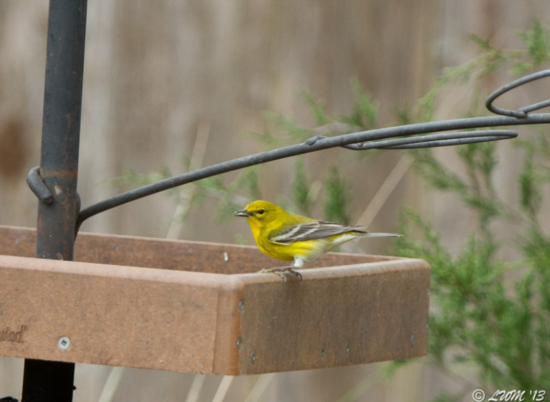 Pine Warbler On Bird Feeder