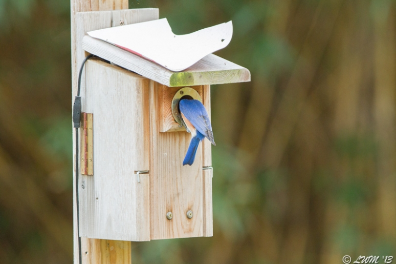 Male Eastern Bluebird Examining House With Internal Camera