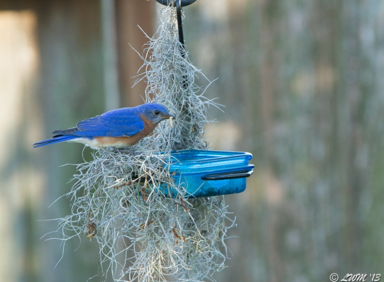 Male Eastern Bluebird With Mealworm Surrounded by Spanish Moss
