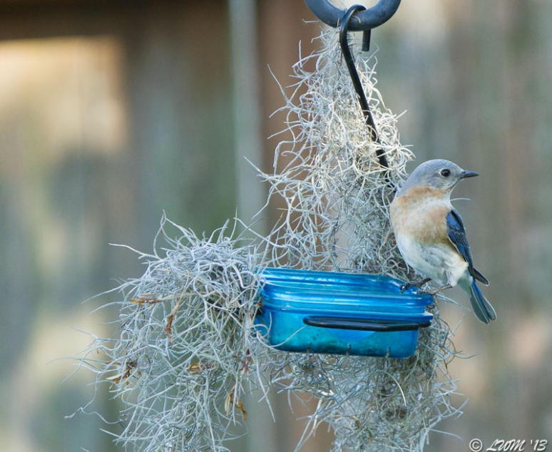 Female Eastern Bluebird Surrounded by Spanish Moss