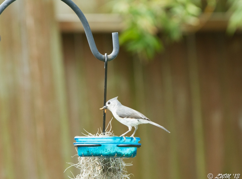 Tufted Titmouse Eating Mealworms
