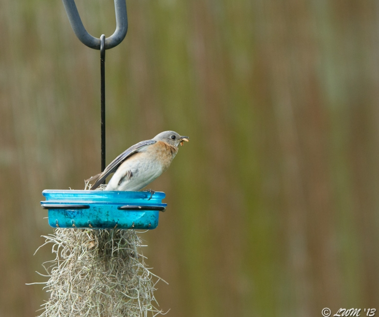 Female Eastern Bluebird Lifting Leg Eating Mealworms