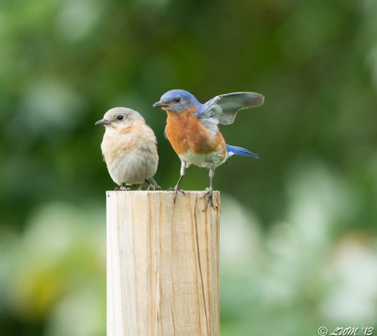 Male And Female Eastern Bluebird Sitting Together