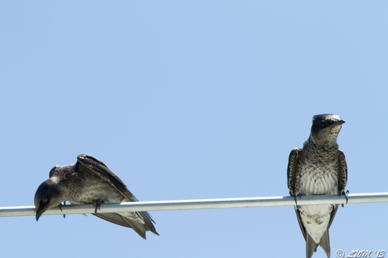 Female Purple Martins On Perch