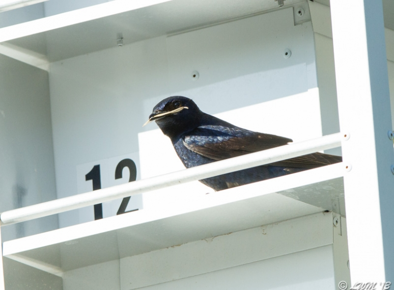 Male Purple Martin With Leaf In Mouth