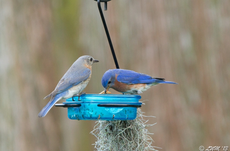 Bluebird Parents On First Day Of Leading Babies To Mealworms