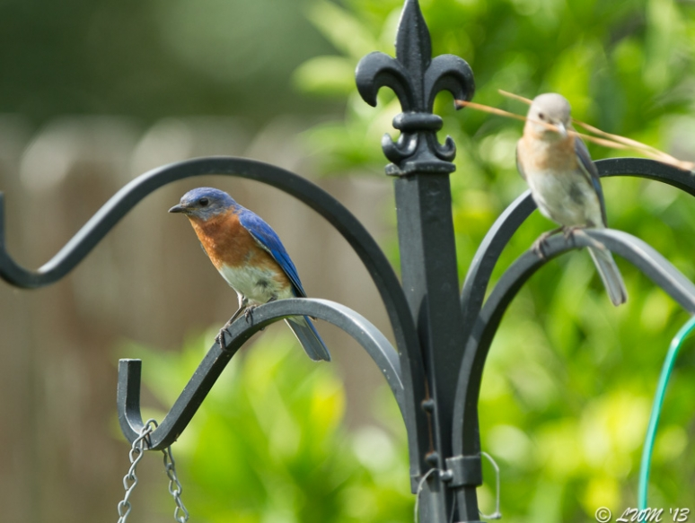 Male Bluebird Watching While Female Builds Nest