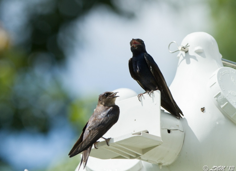 Male And Female Purple Martin With Mouths Open
