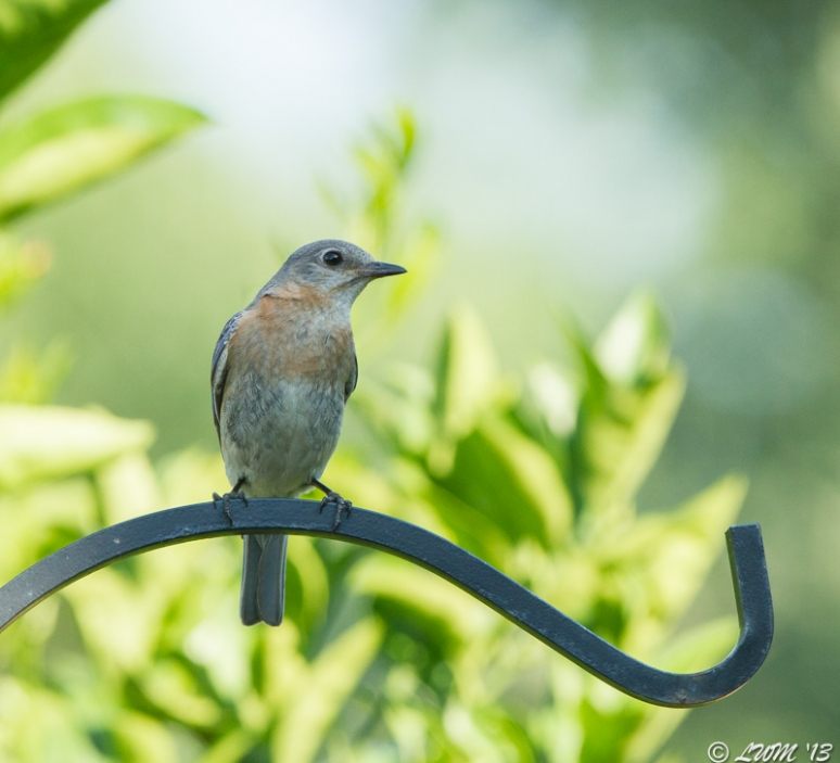 Female Bluebird In Afternoon Light