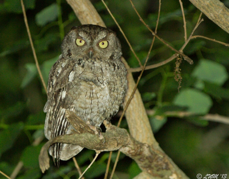 Eastern Screech Owl In Tree