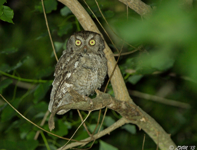 Eastern Screech Owl Staring At Bird Stream